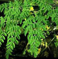 "Moringa: the ""Miracle Tree"""